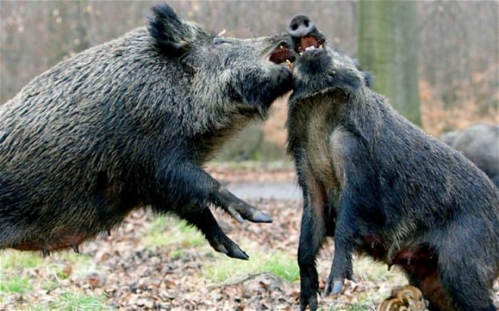 agresif-hayvan-11