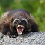 Agresifliği ile Bilinen 13 Vahşi Hayvan