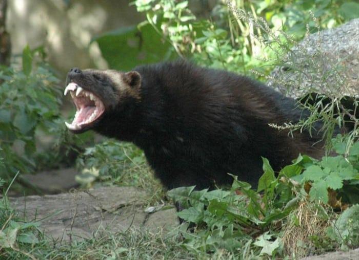 agresif-hayvan-2