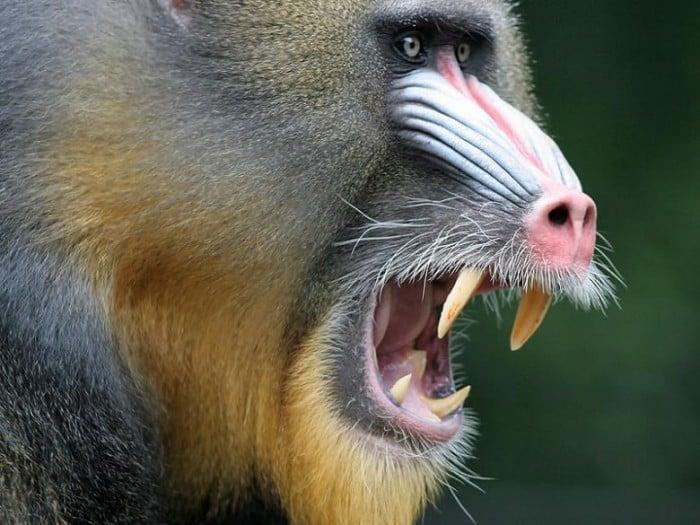 agresif-hayvan-3