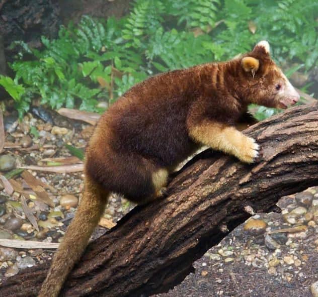 Ağaç Kangurusu