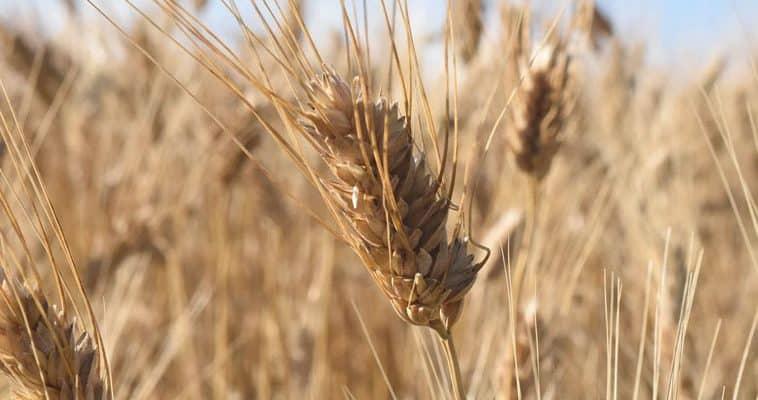 Durum Buğdayı Nedir? Özellikleri Nelerdir?