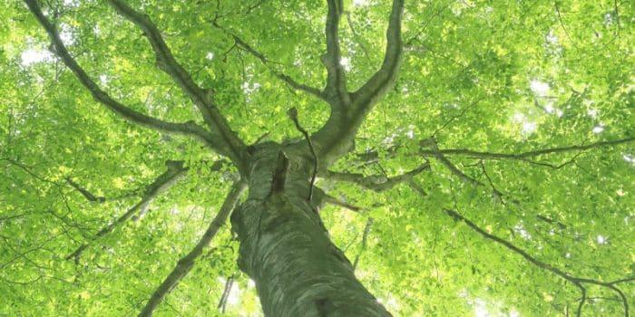 Gürgen Ağacı Nerede Yetişir?