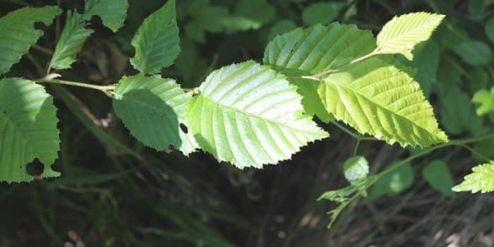 Gürgen Ağacının Özellikleri